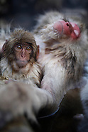 When Snow Monkeys go to the SPA. Quand les singes des neiges vont au SPA
