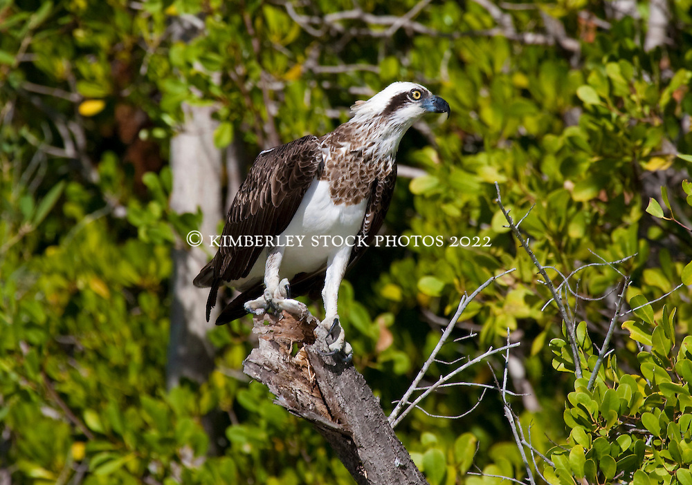 An osprey with a fresh catch of fish rests on a branch overhanging the Hunter River on the Kimberley coast.