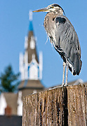 Heron standing on a piling at the Port of Poulsbo