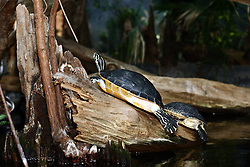 July 2007: Turtle, Chattanooga Aquarium.  Attractions near Chattanooga Tennessee. Point Park, National Park Service - Lookout Mountain, TN. (Photo by Alan Look)