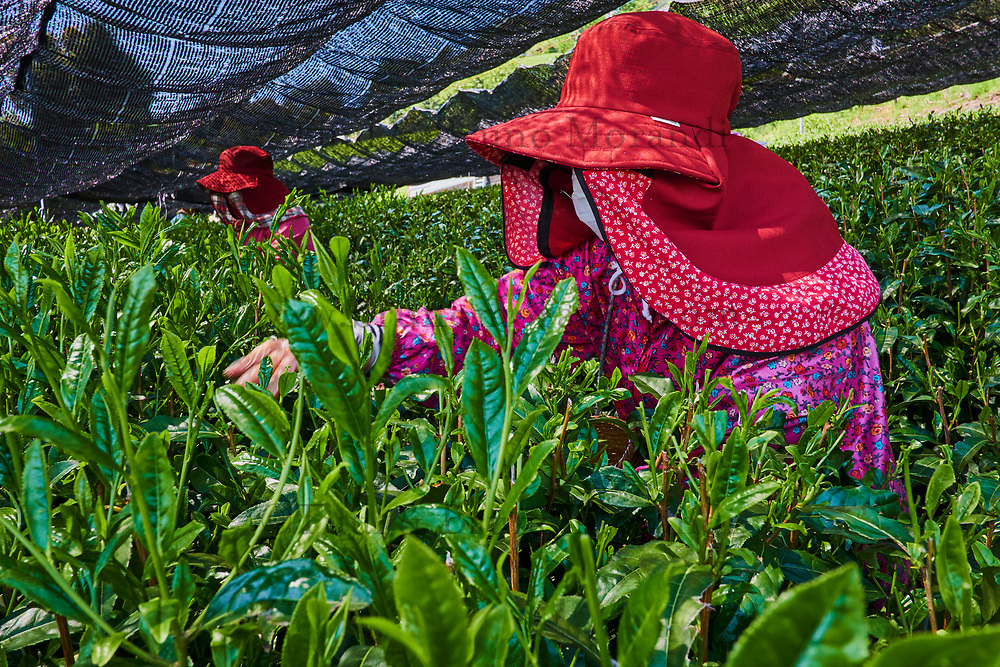 Japon, île de Honshu, région de Shizuoka, recolte du thé dans des chmaps couverts // Japan, Honshu, Shizuoka, tea picking on the covered fields