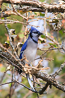 Mission Bluejay