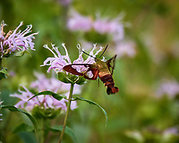 Hummingbird Clearwing Moth (Hemaris thysbe). Image taken with a Nikon D5 camera and 80-400 mm VR lens