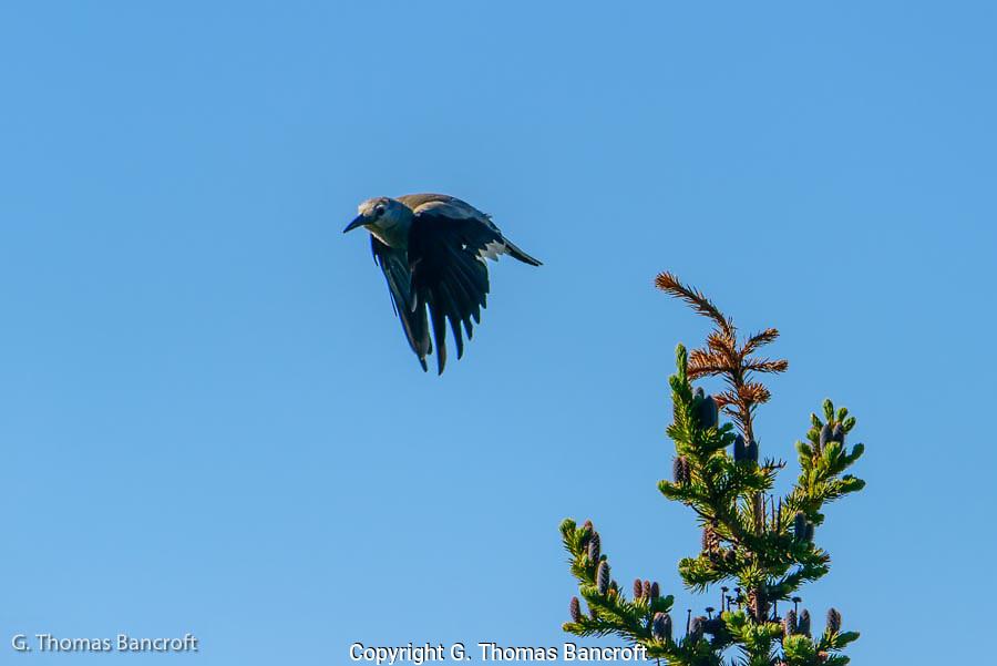 Clark's Nutcracker takes off from a subalpine fir to cross an alpine meadow along Sourdough Trail.