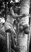 Maldives.<br />Toddy Tapper climbing coconut tree. 1990