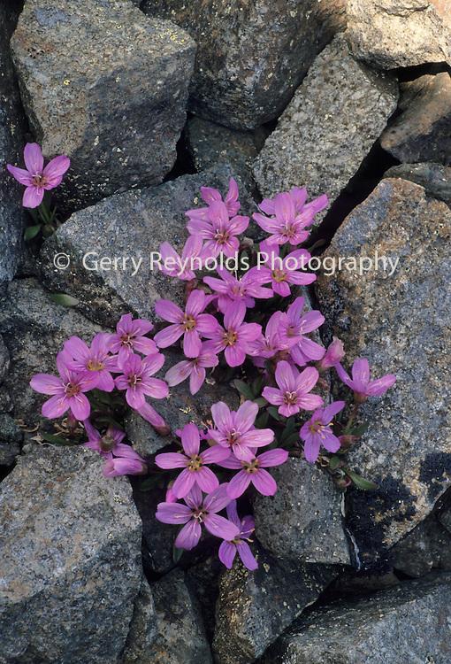 Purple flower, Spring Beauty, Tundra, Wildflowers, Denali National Park, Alaska