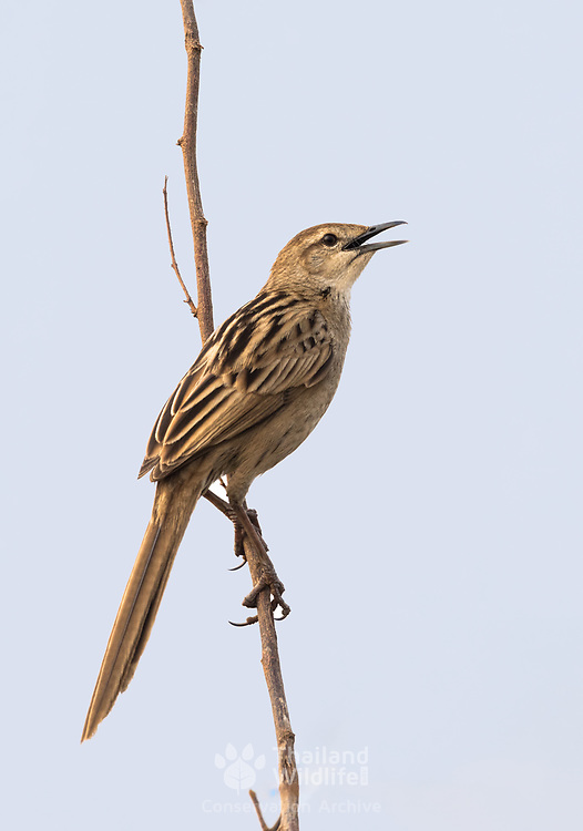 "The striated grassbird (Megalurus palustris) is an ""Old World warbler"" species in the family Locustellidae. It was formerly placed in the family Sylviidae. It is now the only species placed in the genus Megalurus."