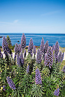 Pride of Madeira Flowers are planted along coastal trail for the benefit of the monarch butterfly habitat within the city, Pacific Grove, California