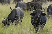 Group of buffalos, Masai Mara, Kenya