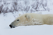 A polar bear (Ursus maritimus) rests.