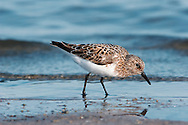Sanderling - Calidris alba - Adult Moulting in to Summer Plumage. L 20cm. Small, robust wader. Seen in flocks running at speed along edges of breaking waves on sandy beaches. Has white wingbar and black legs and bill. Sexes are similar. Adult in winter has grey upperparts and white underparts. In summer (sometimes seen in late spring or early autumn) plumage is flushed with red on head and neck and has dark-centred feathers on back; underparts are white. Juvenile is similar to winter adult but many back feathers have dark centres. Voice Utters a sharp plit call. Status Locally common non-breeding visitor, mainly to sandy beaches; occasional on shingle or mudflats.