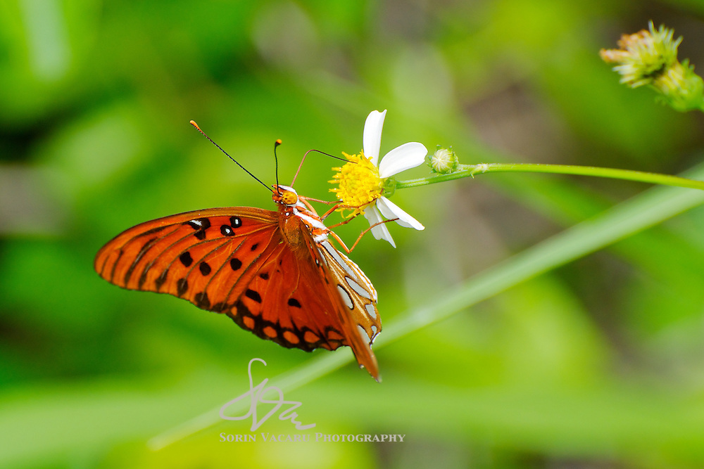 Gulf Fritillary on White Flower