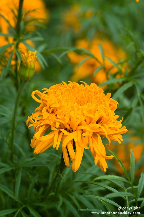 African Marigold 'Simba' . Tagetes erecta