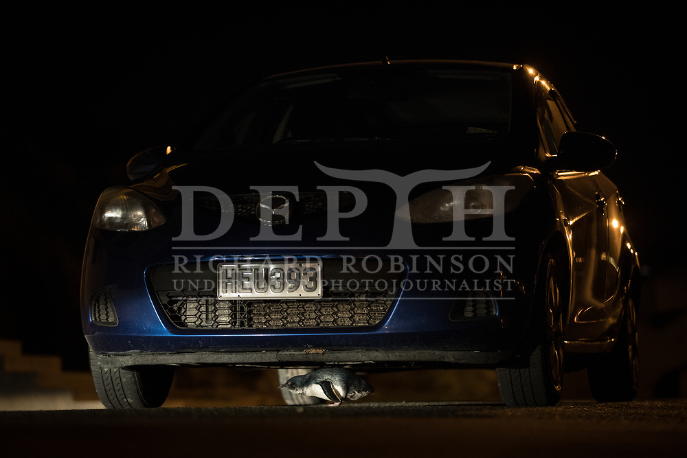 A little penguin (Eudyptula minor) runs underneath a parked car while returning to it's nest at night at Oamaru, New Zealand. Fatality's caused by cars is a major risk for the little penguin. <br /> 11 October 2016<br /> Photograph Richard Robinson &copy; 2016