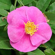 Rose (Rosa sp.) blossom<br />Samuel de Champlain Provincial P<br />Ontario<br />Canada