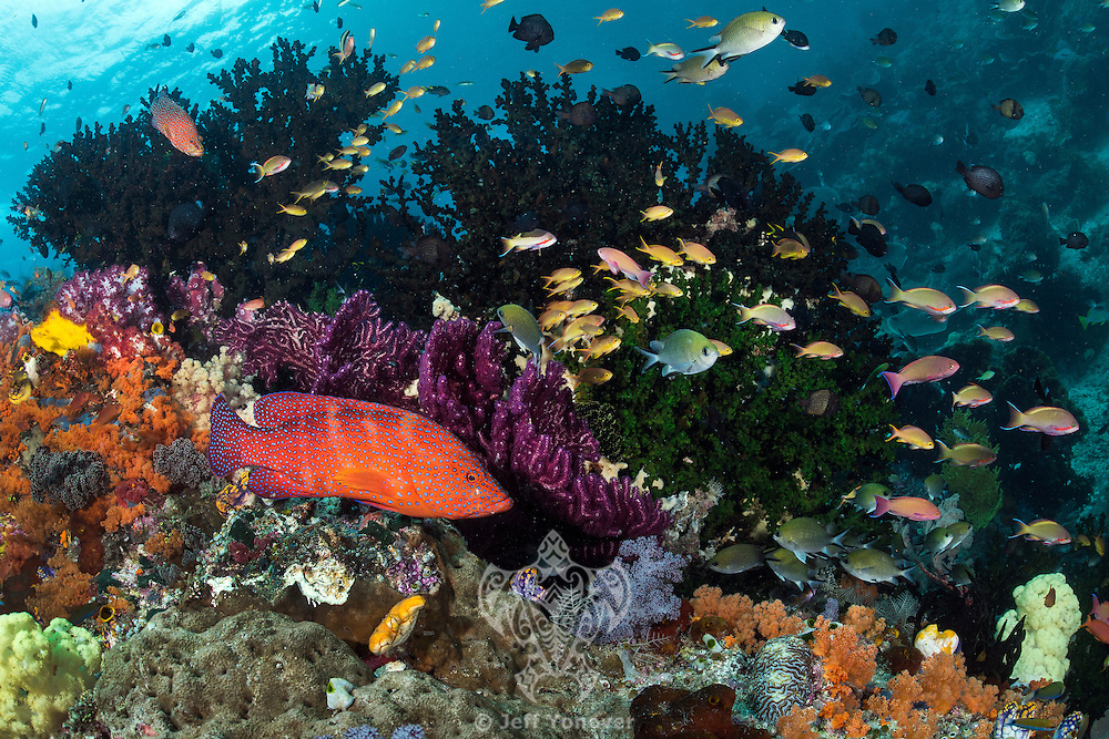 Coral Grouper, Anthias, and Damsels<br /> <br /> Shot in Indonesia