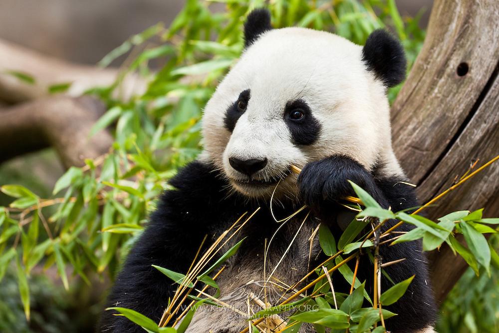Giant Panda, eating bamboo, captive