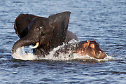 An elephant and hippo fight it out in the water. Chobe River Front National Park, Botswana, Southern Africa, Africa.© Z&D Lightfoot.www.Lightfootphoto.com