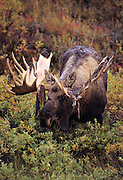Bull moose grazes the tundra in early fall as it looses it velvet on it's antlers - Alaska