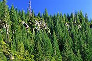 Pine trees grow on a rocky cliff near Shasta Lake, California.