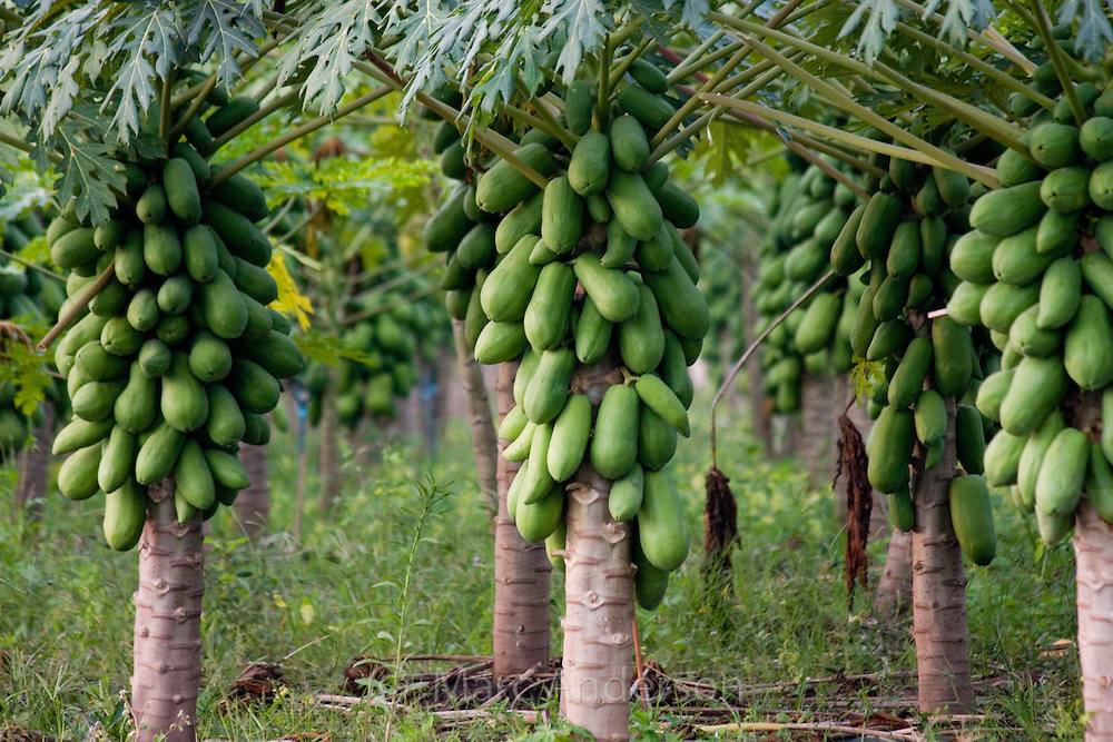 Papaya fruit (Carica papaya) growing in a plantation near Tha Ton, Chiang Mai Province, Thailand