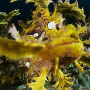 Yellow weedy scorpionfish (Rhinopias frondosa) looking down on the camera lens