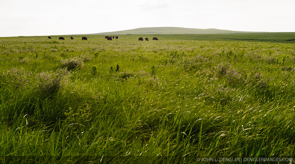 Bison graze in the 10,894-acre Tallgrass Prairie National Preserve located in the Flint Hills of Kansas in Chase County near the towns of Strong City and Cottonwood Falls. In October 2009, the Tallgrass Prairie National Preserve brought 13 genetically pure bison from Wind Cave National Park in South Dakota. A calf born in May 2010 brought the size of the herd to 14 bison. The preserve plans to add more bison form Wind Cave with a final herd size between 75 and 100 bison. Tallgrass Prairie National Preserve is the only unit of the National Park Service dedicated to the preservation of the tallgrass prairie ecosystem. The Tallgrass Prairie National Preserve is co-managed with The Nature Conservancy.