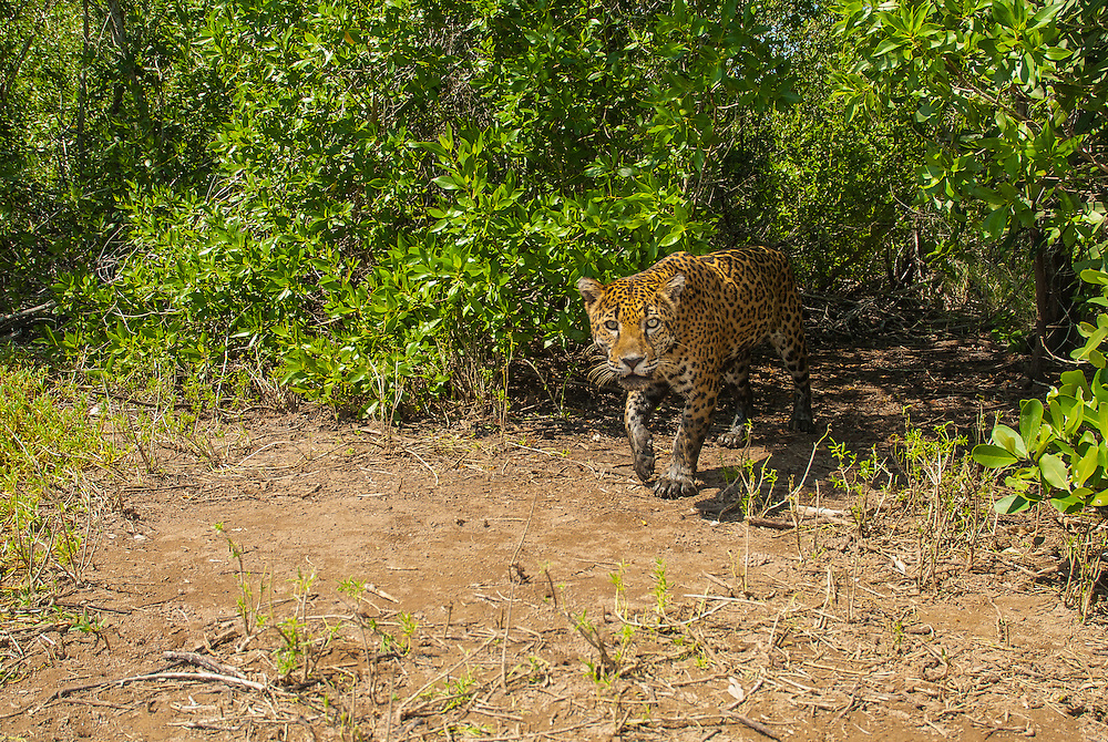 Wild Male Jaguar (Panthera onca) in the mangroove forests of Marismas Nacionales Biosphere Reserve. Nayarit, Mexico.<br /> <br /> Image taken with camera trap.