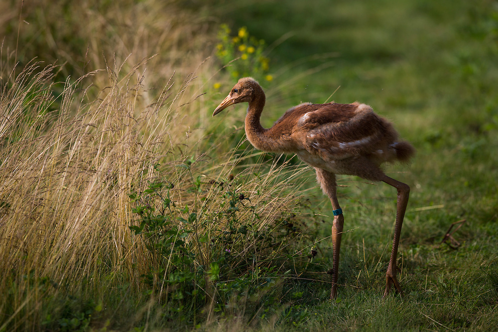 A young Whooping Crane forges for food.