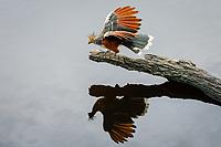 Hoatzin [Opisthocomus hoatzin] dancing on log; Laguna Anangucocha, Napo Wildlife Center, Ecuador