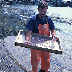 Great Wass Island, ME. U. Maine Machias lobster and clam hatchery manager seeding clams in Black Duck Cove on the coast of Great Wass Island