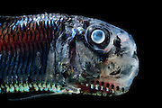 [captive] Lightfish (Ichthyococcus ovatus) is a deep sea fish. They are bioluminescent fishes, possessing rows of photophores along their sides, with which they hunt planktonic invertebrates, especially krill. Atlantic Ocean close to Cape Verde |