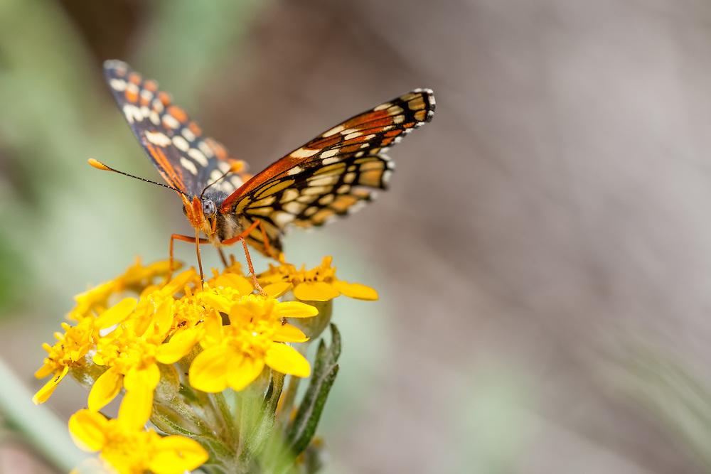 Chlosyne leanira wrightii (Leanira Checkerspot) at Glendora Ridge, Los Angeles Co, CA, USA, on Golden yarrow 02-May-15