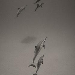 Hawaiian Spinner dolphins on the Big Island of Hawaii.