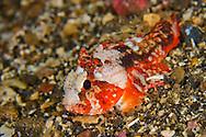 Alberto Carrera, Waspfish, Long-spined Waspfish, Paracentropogon longispinis, Lembeh, North Sulawesi, Indonesia, Asia