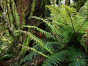 Ferns on Routeburn Track in Fiordland National Park, near Te Anau, Southland region, South Island of New Zealand. In 1990, UNESCO honored Te Wahipounamu - South West New Zealand as a World Heritage Area.