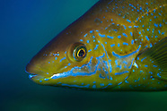 Odax pullus (Butterfish)