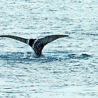 Whales - Antarctica