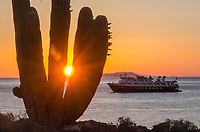 Cardon Cacti on Isla San Esteban in the Gulf of California in Baja California Sur, Mexico.