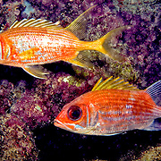 Squirrelfish & Longspine Squirrelfish compairson of 2 similar appeariing species, on reefs in Tropical West Atlantic; picture taken Key Largo, FL.
