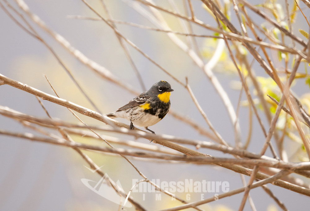 A male Yellow Rumped Warbler has a yellow throat yellow side patches dark feathers half way down its chest and then white feathers the rest of the way down its chest.