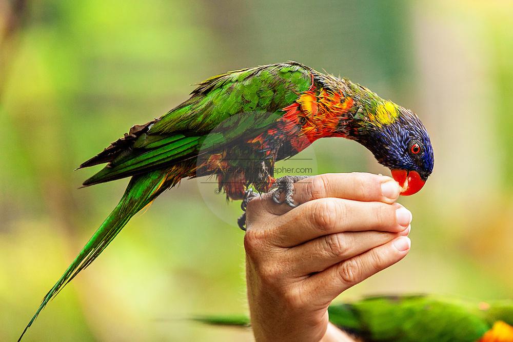 Lorikeet feeding at the Ardastra Gardens and Zoo in Nassau, Bahamas.