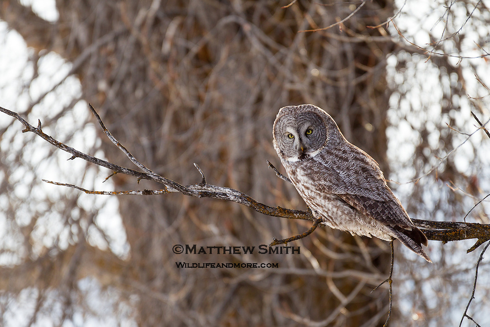 Great Grey Owl perched on a Cottonwood Tree branch in Jackson Wyoming
