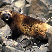 Wolverine, (Gulo gulo) In foothills of the Rocky mountains, crossing rocky slope. Montana.  Captive Animal.
