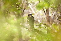 A Coopers Hawk deep in the thick scrub oak canopy perches on a branch resting.