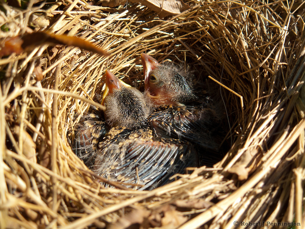 Song Sparrow Chicks in the nest.