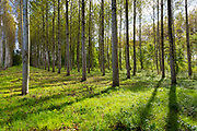Tall Birches - managed plantation copse of Silver Birch European White Birch Trees Betula Pendula in France