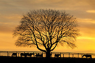 Montgomery, New York - Horses feeding by a tree are seen in silhouette in front of colorful clouds at sunset at Cameo Hills horse farm on Dec. 23, 2012.