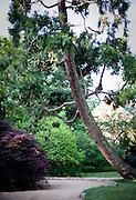 A cedar graces the path through UNC's arboretum.