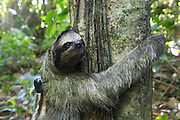 Brown-throated Three-toed Sloth <br /> Bradypus variegatus<br /> Sloth wearing &quot;sloth backpack&quot; clinging to tree after release<br /> Aviarios Sloth Sanctuary, Costa Rica